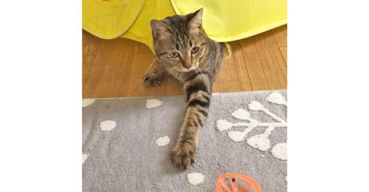 テントの狭い穴にこだわりがある猫さん。オモチャが取りにくくても、一生懸命にガンバります(`・ω・´)