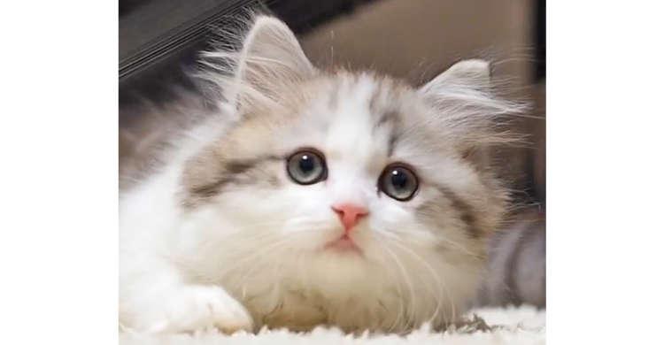 視線をあっちへこっちへキョロキョロ動かす猫さん。天使のような可愛らしさに…やられた(*ノω・*)!