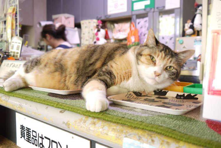 【猫びより】3匹の番台猫に会いに行こう!【西新井大師】(辰巳出版)
