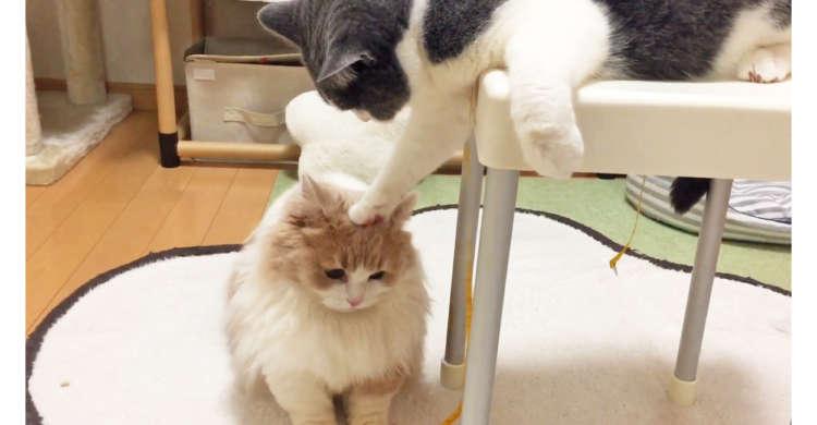 メジャーをめぐる、猫たちの可愛い争い☆ オモチャをGetするのはどちらかニャ(ΦωΦ)? 38秒