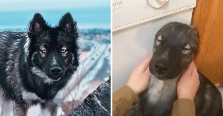 【まるで別犬】クール顔だけれど、ナデナデされると甘えた顔になるワンコ。そのギャップが…(*´ェ`*)