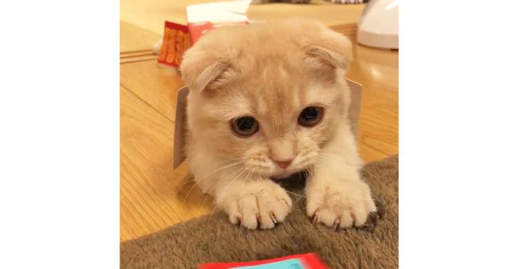 小さな箱が気に入り「ヤドカリ」になった子猫ちゃん。すっぽり入ったまま遊び続ける姿が…(。>﹏<。)