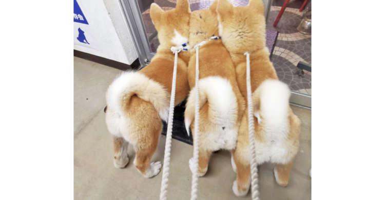 ボリュームたっぷりのモコモコ尻が丸見え!「ケルベロス」になった子犬ちゃんたちが…可愛すぎて困る♡