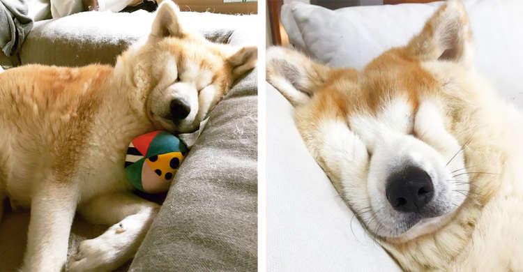 モフモフすぎて顔面がつぶれてしまった秋田犬。原型をとどめない、ぺしゃんこな寝顔が愛おしい! 5枚
