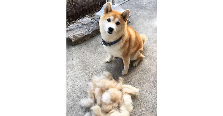 お風呂に入ったらイッキに抜け毛の山が♡ 分身が作れそうな、柴犬さんの抜け毛が話題に(*´Д`) 2枚