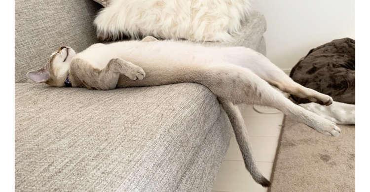 """猫背を忘れ、だらりと伸びるニャンコ。その脱力しきった姿に""""猫らしさ""""とは何か考える(*´Д`) 5枚"""