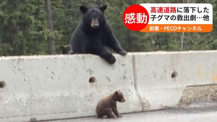 高速道路に子グマが…。諦めなかった母グマの行動!【動物たちのびっくり映像4選】