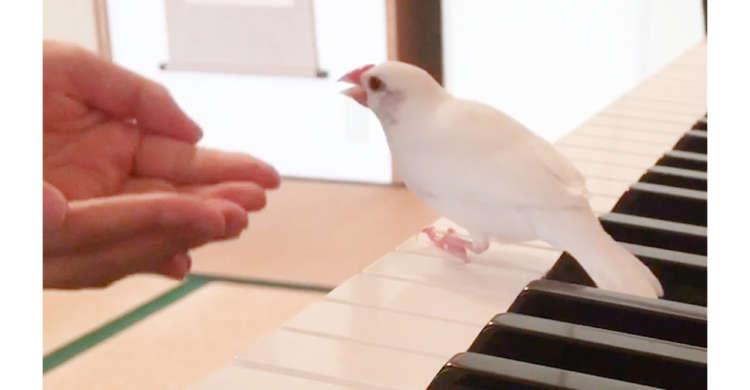 構ってほしい文鳥さん。ピアノの前に立ちはだかり、飼い主さんに猛抗議! そのやり取りにクスッと♪