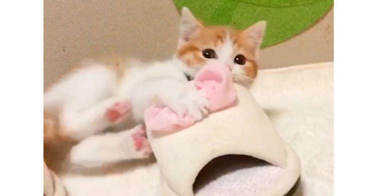 「ママの匂いがいっぱいだニャ!」 スリッパに、勢いよくケリケリする子猫ちゃんが可愛かった♪ 22秒