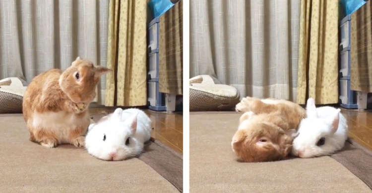 【体の大きさ忘れていない?】お隣さんの方へ、豪快にごろんちょするウサギちゃん…(;´∀`) 26秒