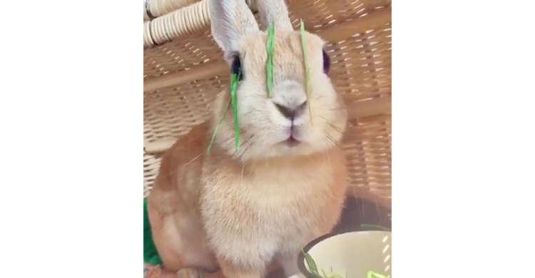 【まるでカーテン】食器に顔をつっこみ、無我夢中でもぐもぐ食べるウサギさん♪  その結果…(笑)17秒
