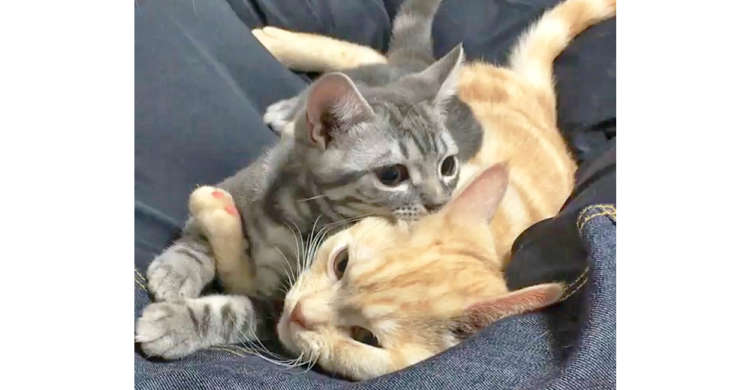 【切ない展開】愛しのお兄ちゃんにくっつき、幸せな時間を過ごす弟ネコ♡ → ところがこの後…。 17秒