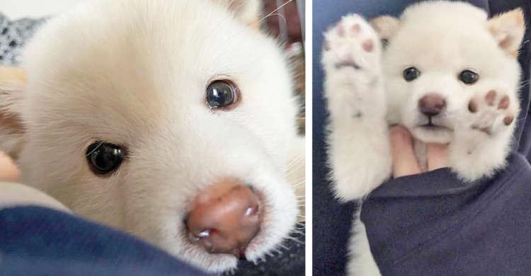 シロ熊のようなむくむく感…♡ 可愛さと癒やしにあふれた、白柴「むぎ」ちゃん写真集(≧∀≦) 9枚