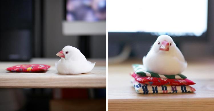 専用の座布団を手に入れた白文鳥さん。しばらくすると、完全に自分の物にしていたΣ(゚Д゚) 6枚