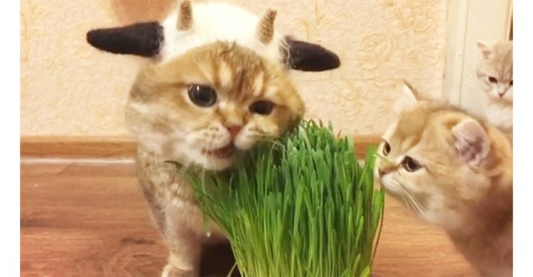 大人ニャンコが猫草を食べる姿を見て、興味が湧いた子ネコちゃん。試しに近づいてみるものの…(*´∀`)