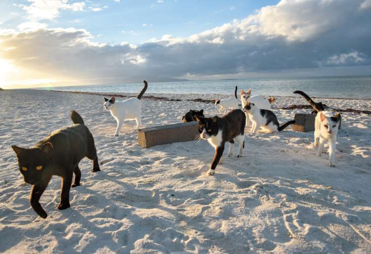 遠浅が続くビーチにはふっくらとした猫が多くなった