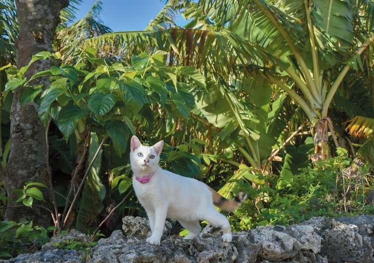 サンゴの石垣で大きなバナナの木と。レンタル自転車屋さんの愛猫はオッドアイ
