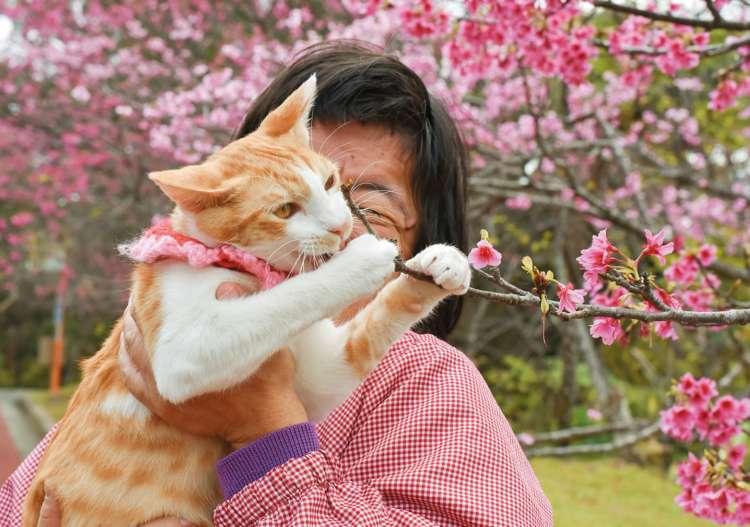 1~2月に咲く濃いピンク色の寒緋桜。「花よりダンゴ」ならぬ「花よりオモチャ」なヤンチャ猫