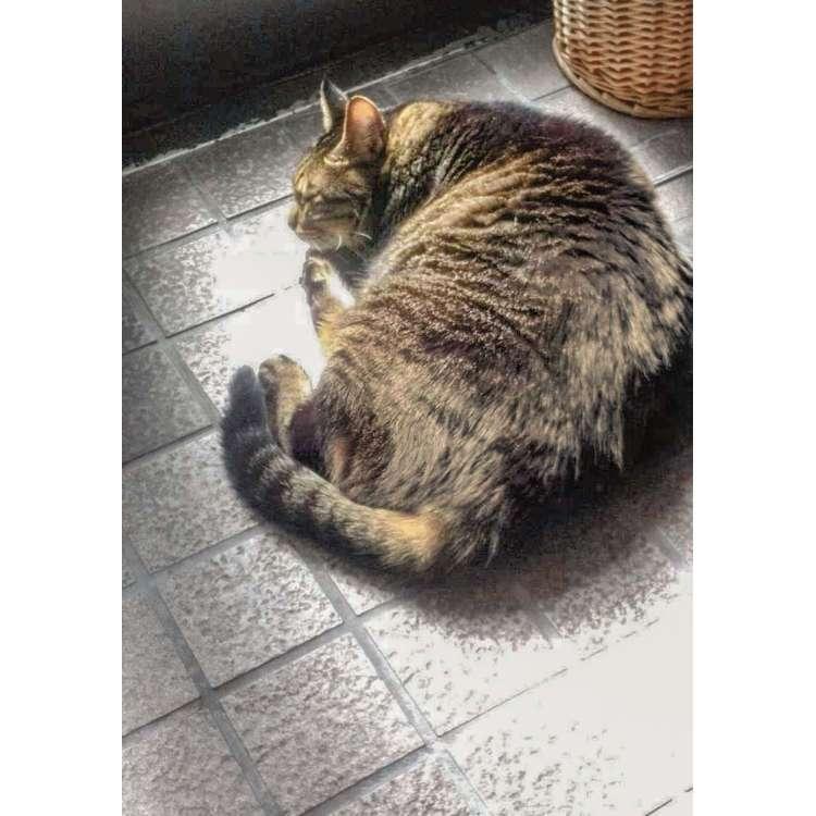 河田さん宅の玄関で寛ぐ愛猫・はな(推定12歳)