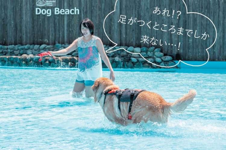 浅瀬でおもちゃを追うようになったら、深い 場所に向けて投げたり、飼い主さんが持っ たまま移動したりして、愛犬を誘導します