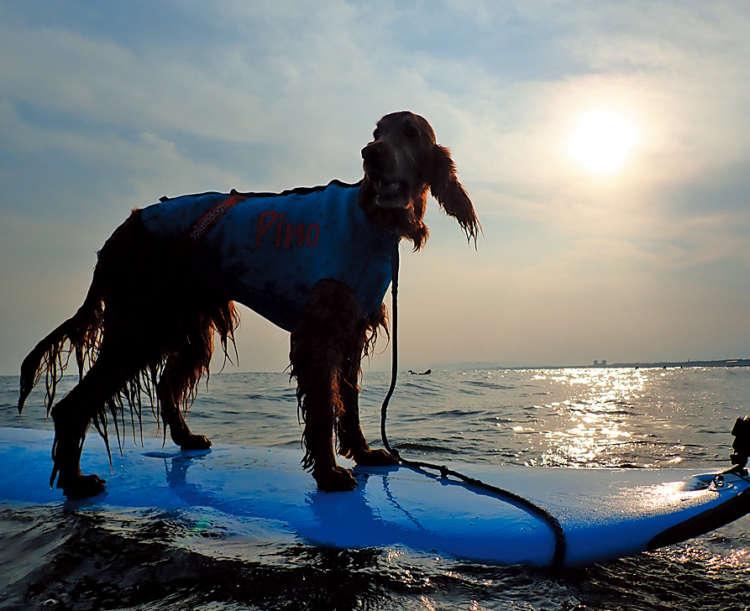 特に、 湘しょうなん南(神奈川県)や九く じゅう く り はま十九里浜(千葉県)な どでは、近年愛犬とともに波乗りを楽しむ サーファーの姿が増えてきているそうです。