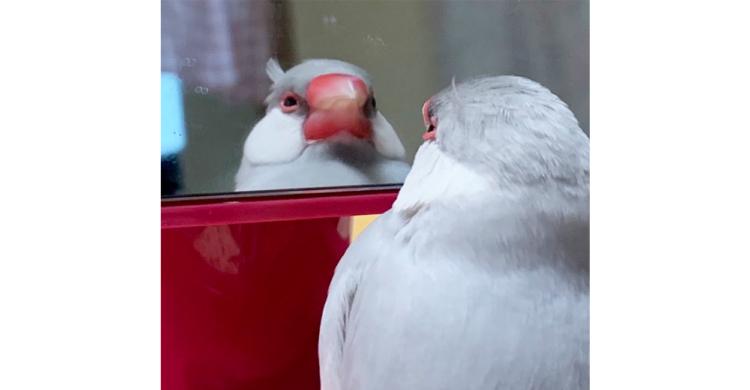 """【寝癖見つけちゃった】眠そうに鏡を見つめる文鳥さん。ちょこんとハネた""""寝癖""""が可愛すぎる(*´Д`)"""