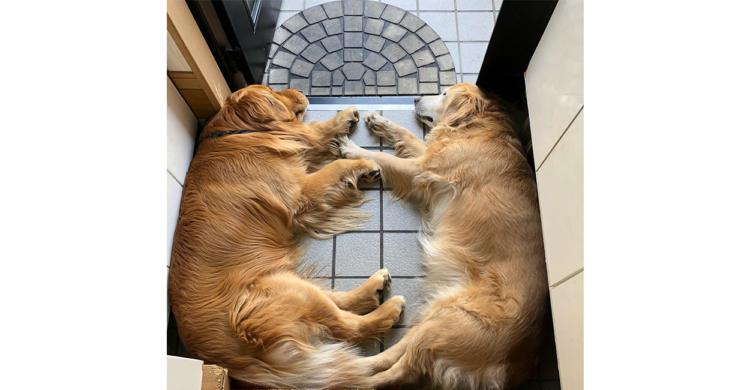 涼しい場所をはんぶんこ! 玄関でギュウギュウになってお昼寝するゴールデン・レトリバーが可愛い♡