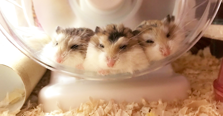 【束の間の休息】回し車の上で仲良く眠るハムちゃんたち。しかし、この後3匹に思わぬ悲劇が…(´艸`*)