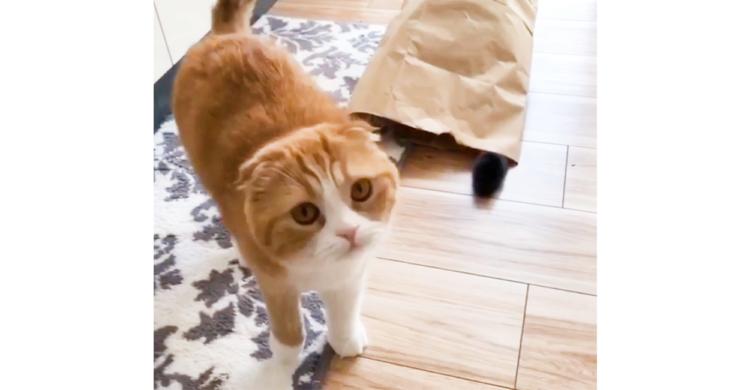 【楽しさの基準はそれぞれ】紙袋が好きなニャンコと興味がないニャンコ。試してみたところ…(´ω`*)