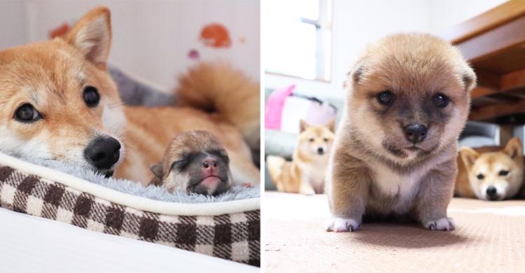 「すず」ちゃん誕生!柴犬きょうだいの新しい家族。出産から今までを記録した小さな成長記録♡ 11枚