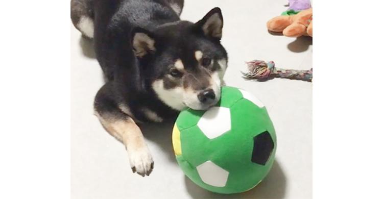 遊びに誘ってみたけれど…今は気分じゃないみたい。ボールを枕にくつろぐ柴犬の姿が和む〜(*´∀`)