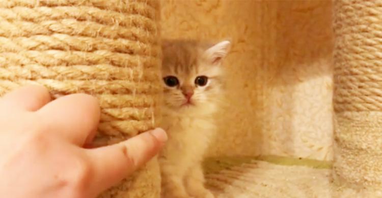 恥ずかしがり屋な子猫ちゃんがキャットタワーからチラッチラッ。ぎこちない動きがたまらない♡