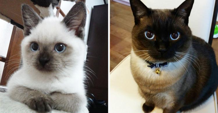 「#シャム猫の色変わりすぎ選手権」で話題の猫さん → 子猫時代と比べてみたら…まるで別猫♪ 4枚