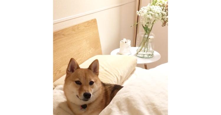飼い主さんが来るまでベッドを温めている柴犬さん♡ 愛犬の温もりで眠れるなんて幸せすぎるっ!! 33秒