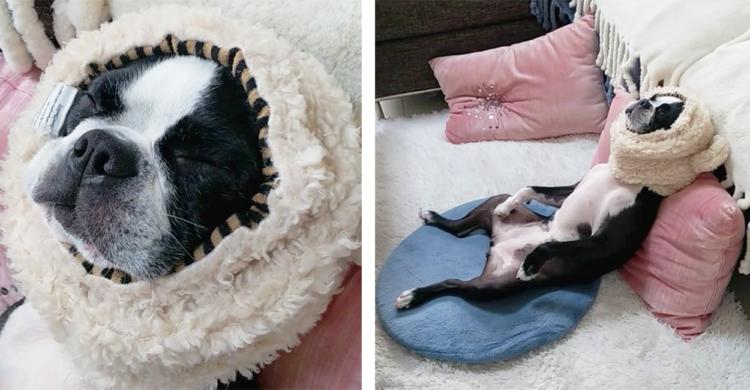 【まるで人間みたい!? 】リラックスして眠るボストンテリアさんの驚きの寝姿とは…♡