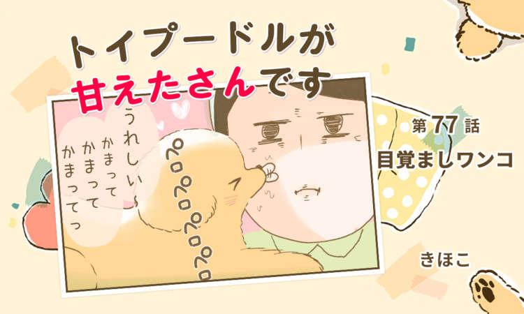 【まんが】第77話:【目覚ましワンコ】まんが描き下ろし連載♪ トイプードルが甘えたさんです