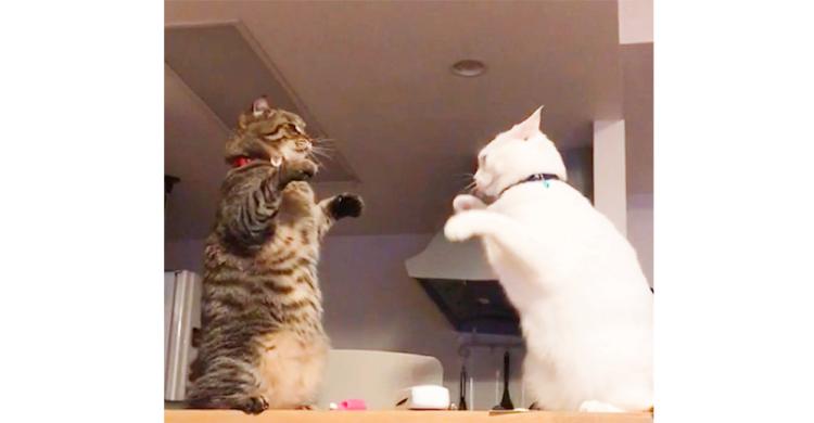 【優しい喧嘩!?】空振りし続ける白猫ちゃんがかわいい♡ 最後に勝つのは…(/ω\)
