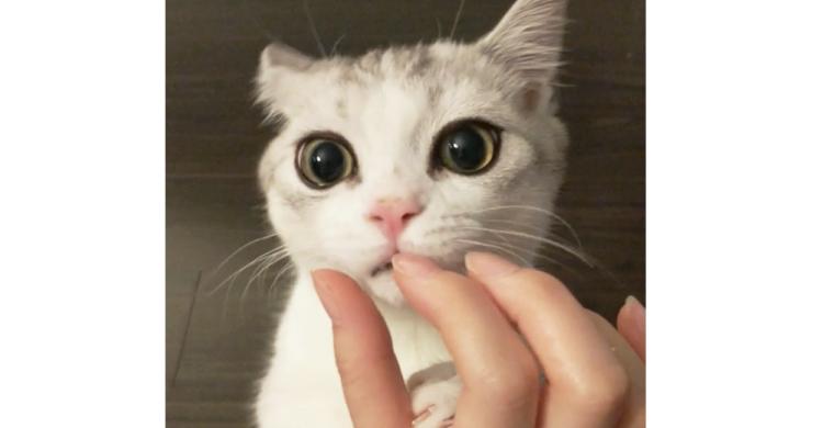 おやつの時間に密着♡ 指まで美味しくなってきちゃったニャンコ。ぺろぺろが止まらなくて…(*´﹃`*)