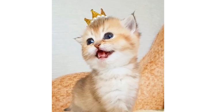もしかして百獣のにゃお!? ニャンコが王冠を被ったら激かわな生物が誕生した…(*´艸`)