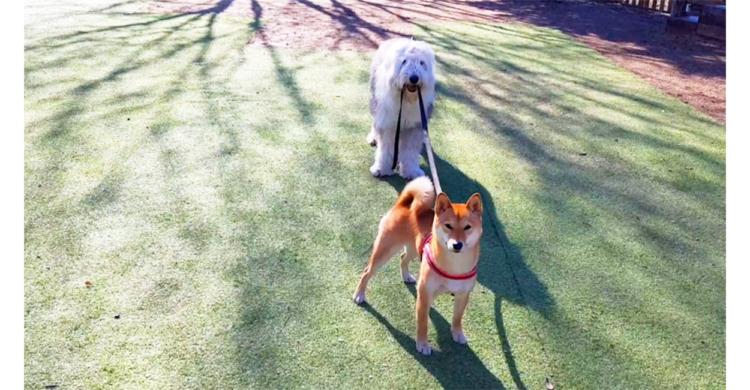 【リードから伝わる熱い友情♡ 】柴犬ちゃんの自由さに保護者ワンコがタジタジにッ!