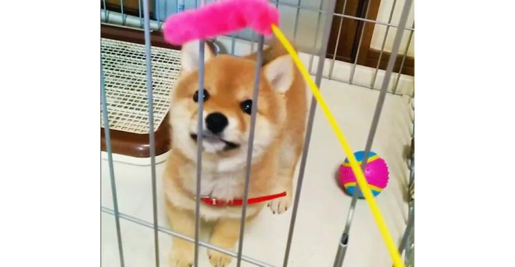 「どっちかなんて選べないッ!」ふたつのおもちゃの間で揺れ動く豆柴ちゃん♡ 最終的に選んだのは…!?