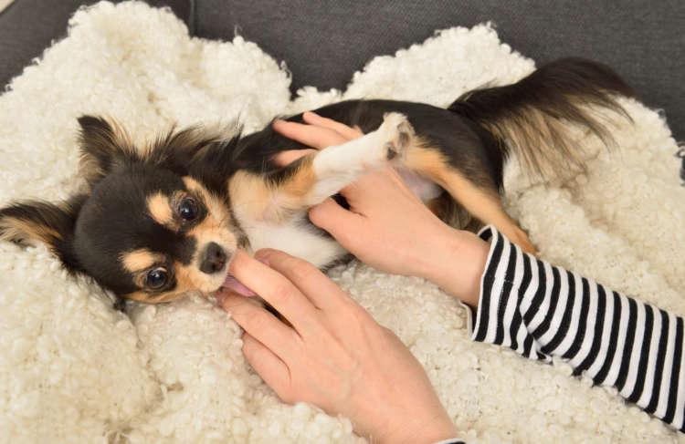 【チワワスタイル】【愛犬目線で部屋を整えれば安心!】ストレスの少ない部屋づくり