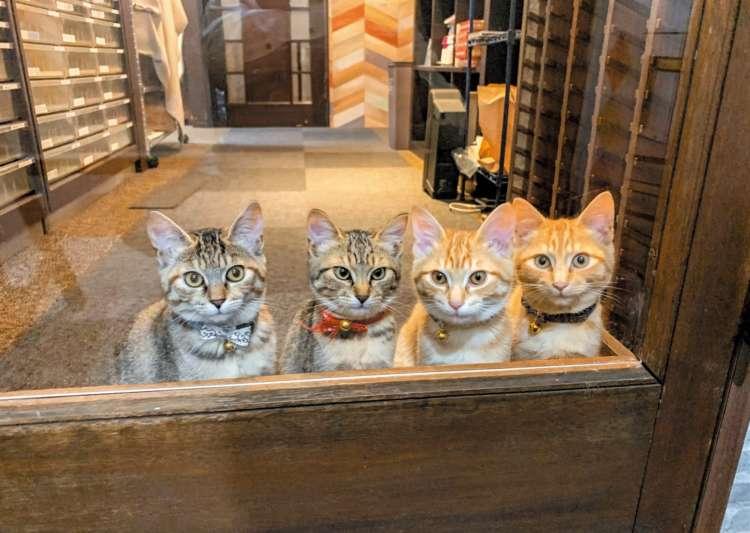 【猫びより】【み~んな元保護猫!】仕事のデキる しまや出版癒し課の社猫たち(辰巳出版)