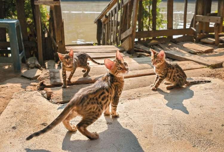ピン川沿いで日光浴するベンガルの子猫たち
