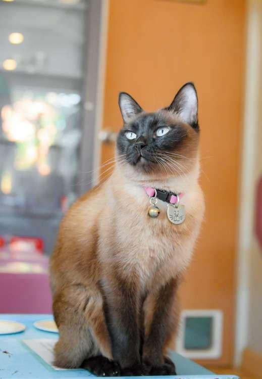 タイ純血種のシャム猫ビビちゃん