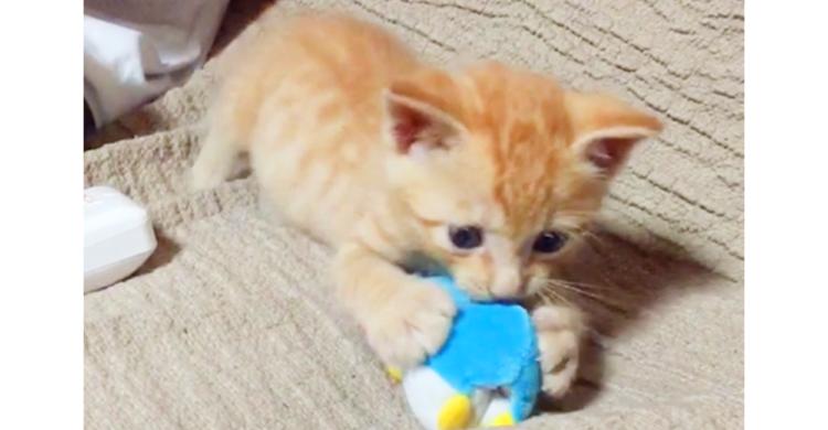 【子猫ならではのあどけない動き♡】なんでも興味津々な子猫ちゃん。手当たり次第に遊びはしゃぐ…♪