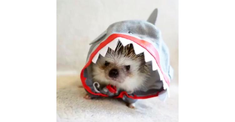 【サメ × ハリネズミの激かわ生物誕生!?】 よちよち可愛いくお散歩してたら、だんだん脱げてきて…♪
