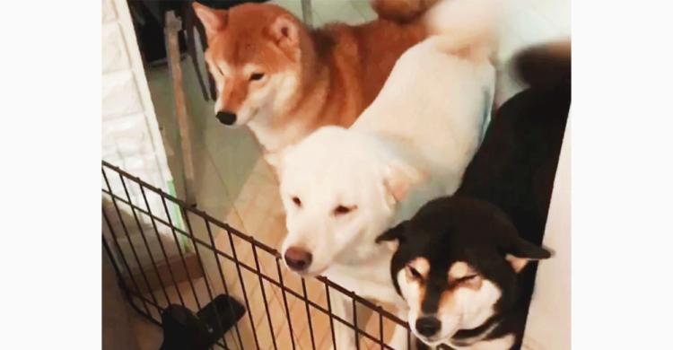 【待望のおかえりタイム】柴犬3兄弟の健気なお出迎えがかわいすぎ!! あまりの嬉しさに謎行動も…♡
