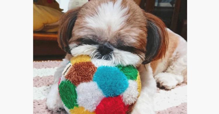 遊ぶ時も寝る時もずっと一緒♪ シーズーちゃんが大切にするボールには素敵な思い出が詰まっていた…♡