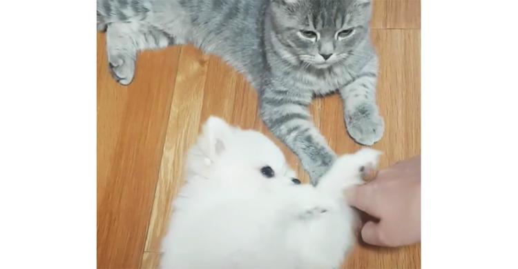 【私だけをナデナデして♡】猫ちゃんを撫でると邪魔してくるポメちゃん。あざとい仕草にメロメロに…♪